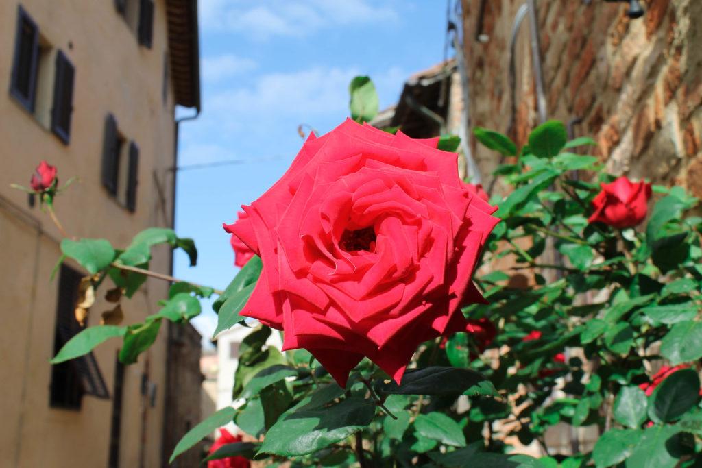 certaldo-flower1