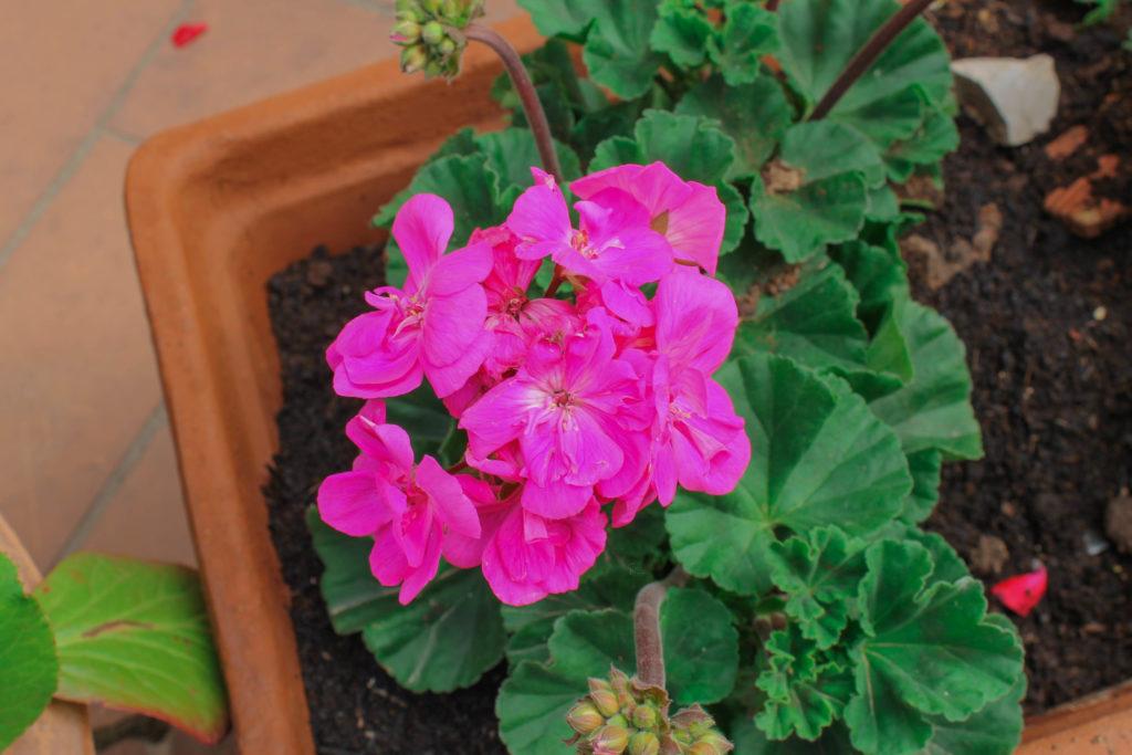 certaldo-flower2