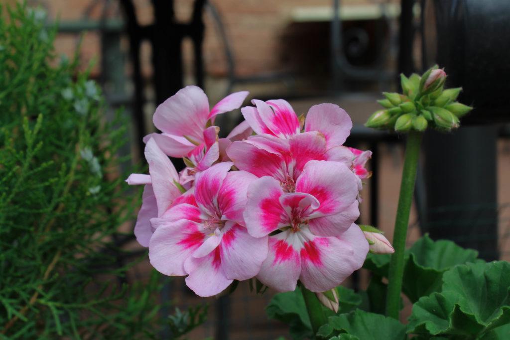 certaldo-flower4