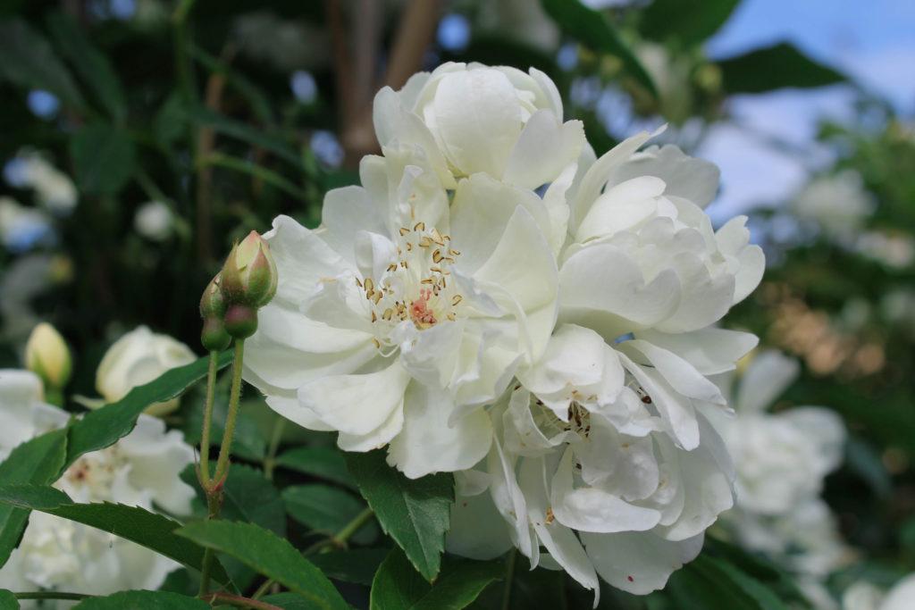 certaldo-flower7