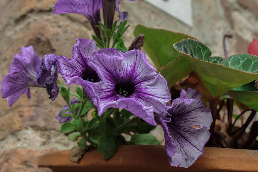 certaldo-flower8