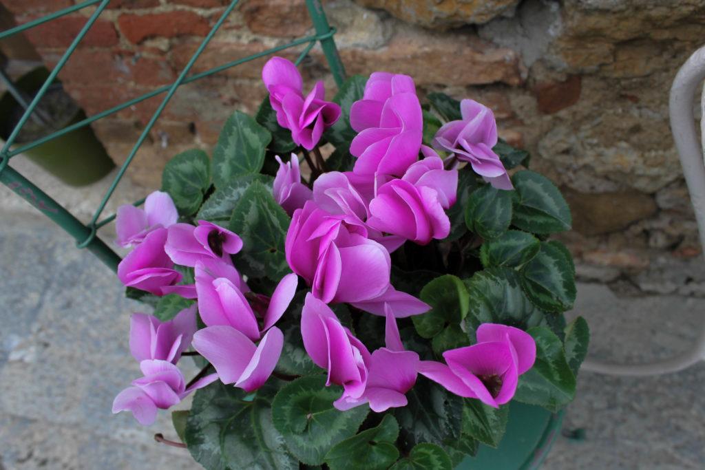 monteriggione-flower1