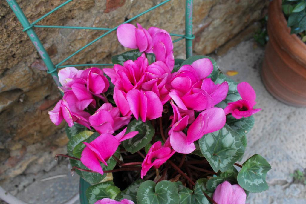 monteriggioni-flower2
