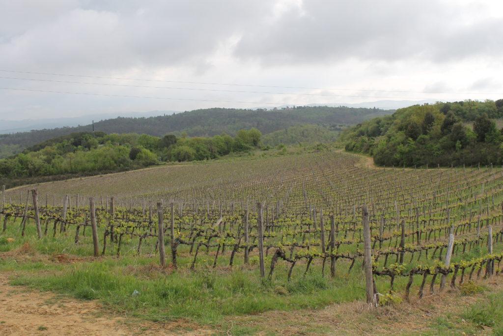monteriggioni-vineyard