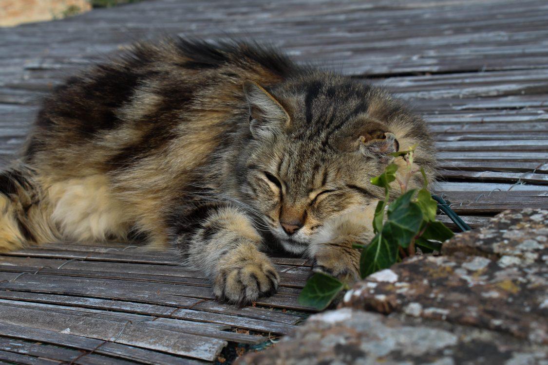 certaldo-cat